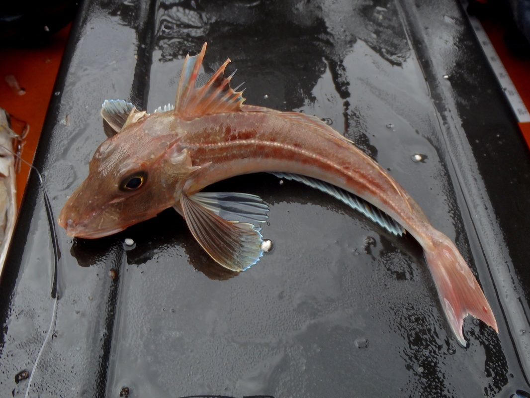 Grey Gurnard caught kayak fishing in Plymouth Sound