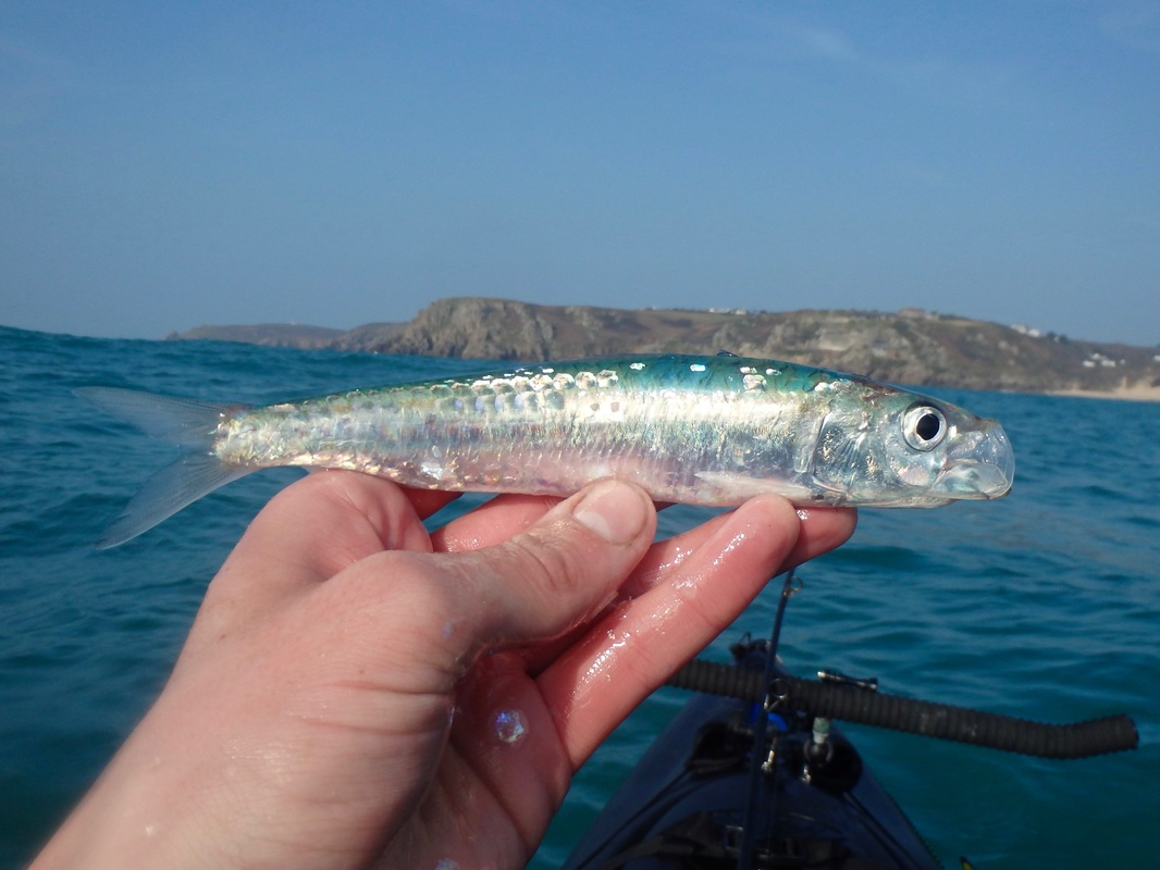 Pilchard caught whilst kayak fishing in Cornwall