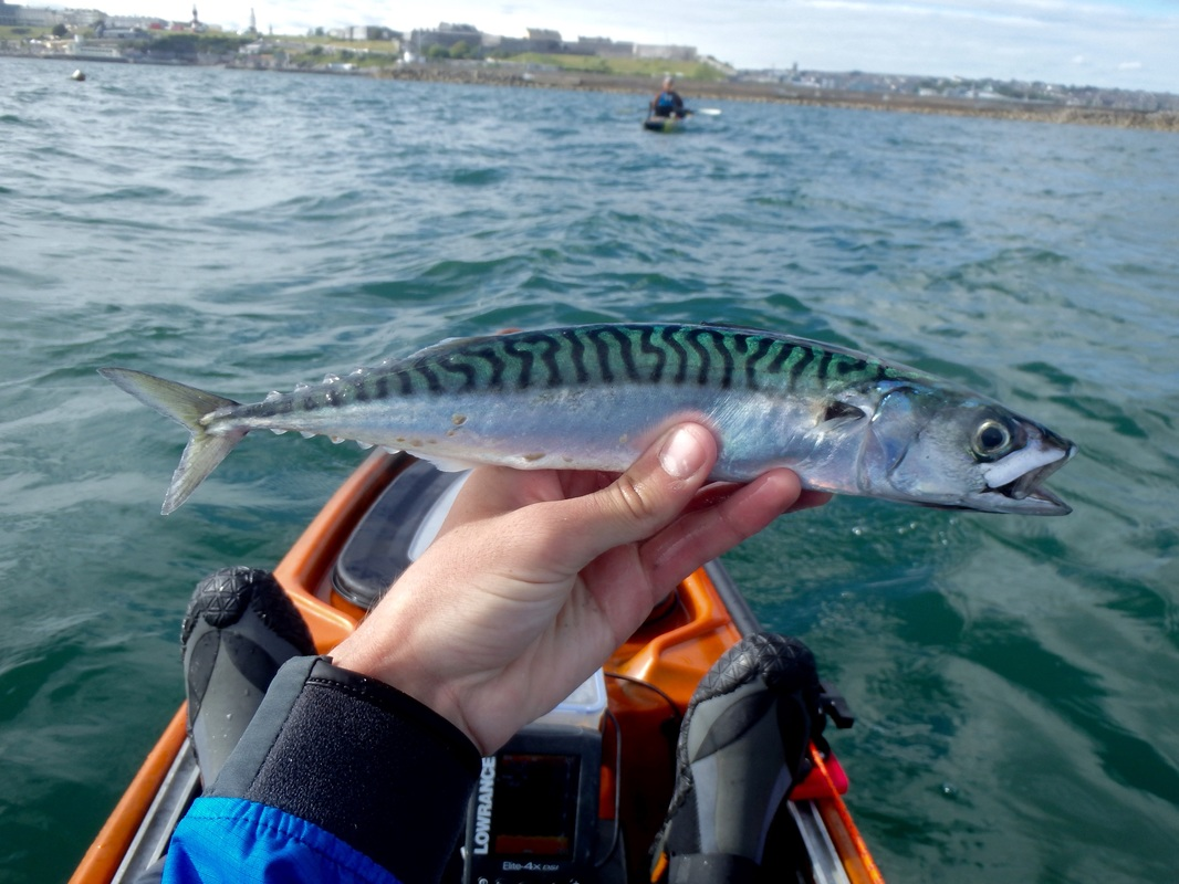 Plymouth Sound Mackerel