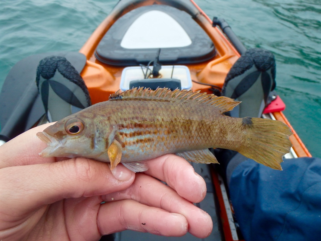 Kayak caught Goldsinney Wrasse caught in Plymouth Sound