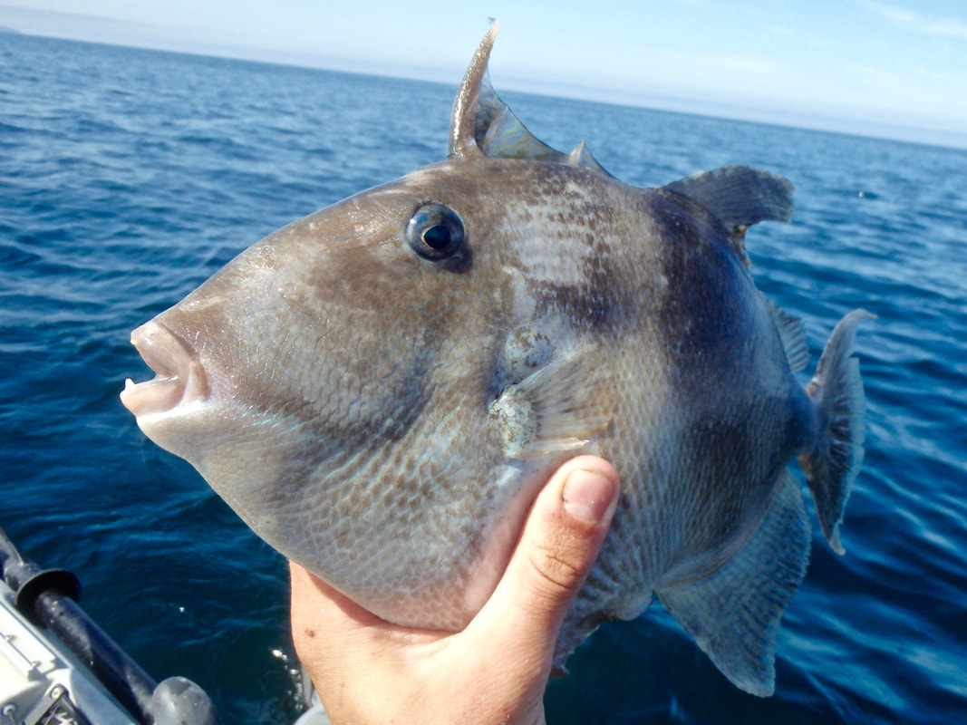 Atlantic Grey Triggerfish Head - Batistes capriscus