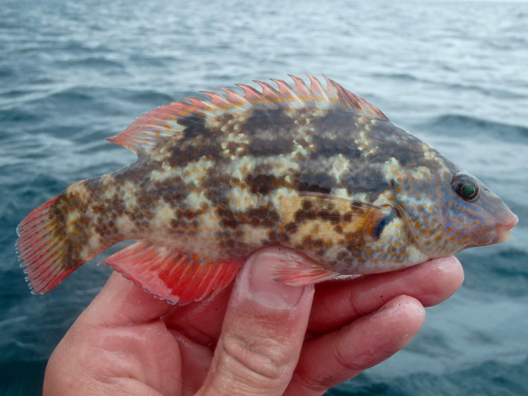 Baillons Wrasse male from the Kayak
