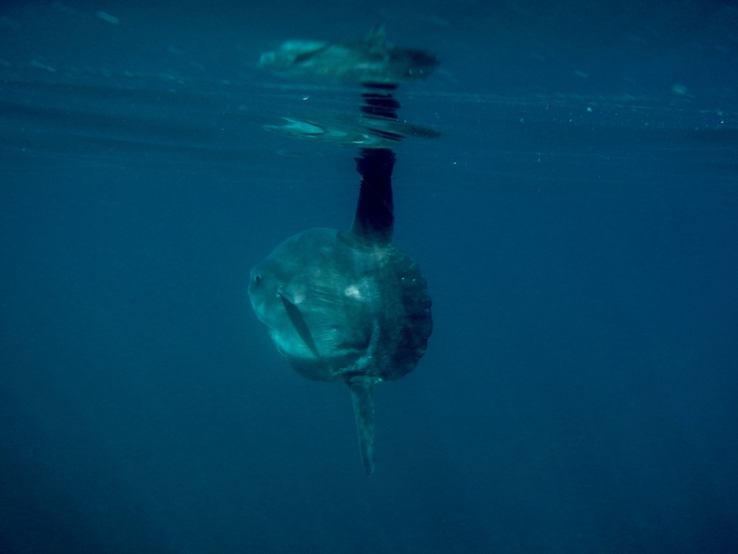 Ocean Sunfish - Mola mola in Cornwall