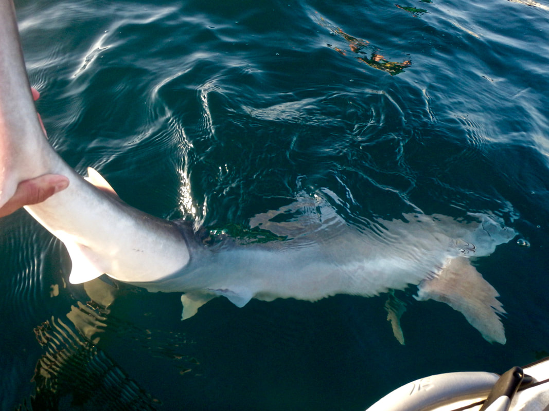 Releasing a Tope Shark from a kayak