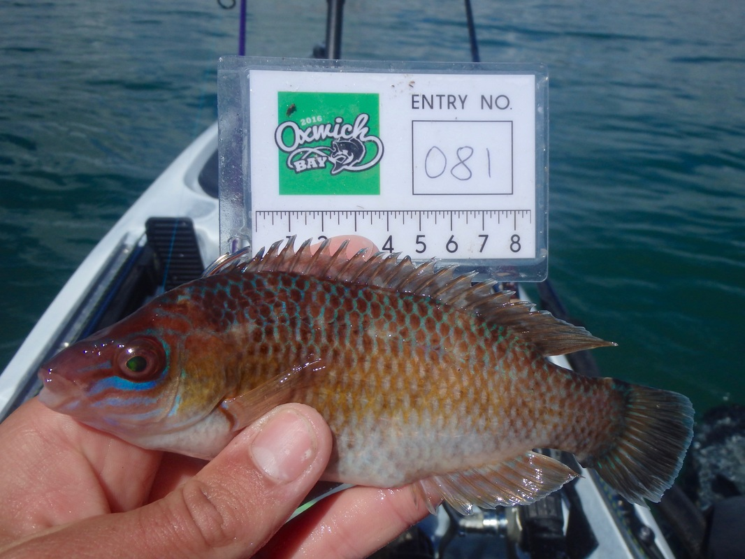 Oxwich Bay 2016 Rock Cook Wrasse