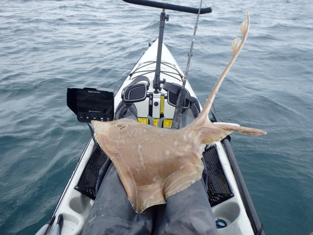 Small Eyed Ray at Swanage on the Kayak