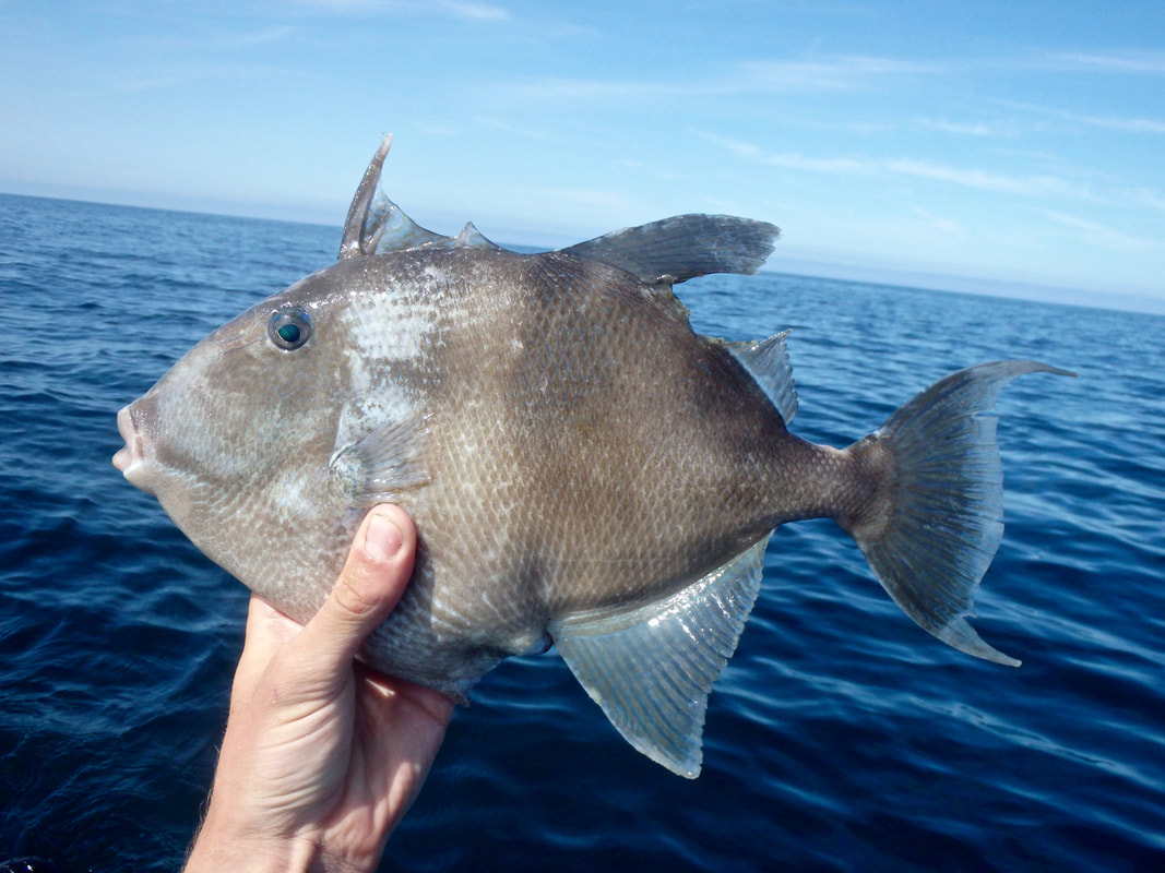 Fishing for Atlantic Grey Triggerfish - Balistes capriscus