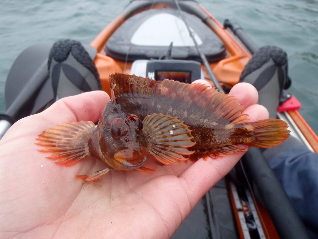 Kayak caught Tompot Blenny