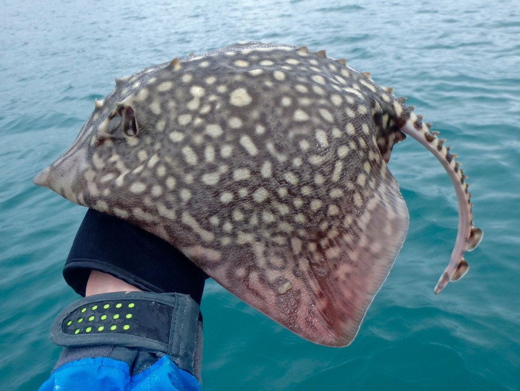 Thornback Ray caught Kayak Fishing in Cornwall