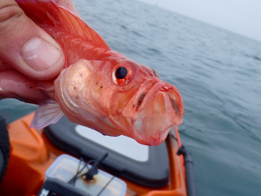 Red Band Fish caught in Plymouth Sound