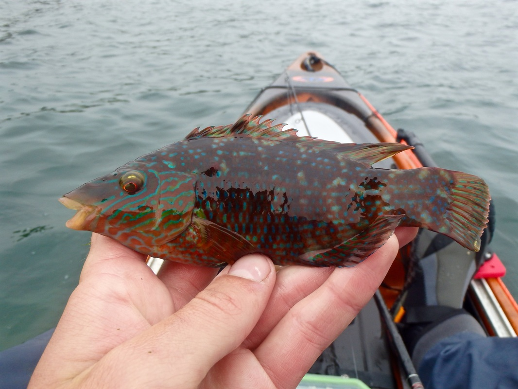 Kayak caught Male Corkwing Wrasse