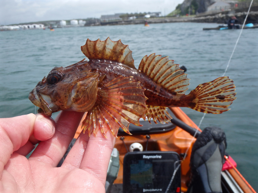 Long Spined Scorpionfish caught at the Ocean Kayak Classic 2015