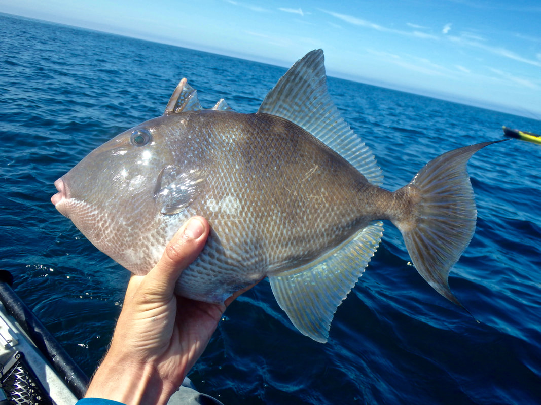 Kayak Fishing for Atlantic Grey Triggerfish - Balistes capriscus