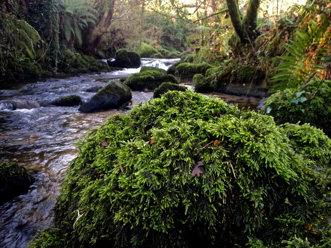 Thick moss covered river boulders on the Helford