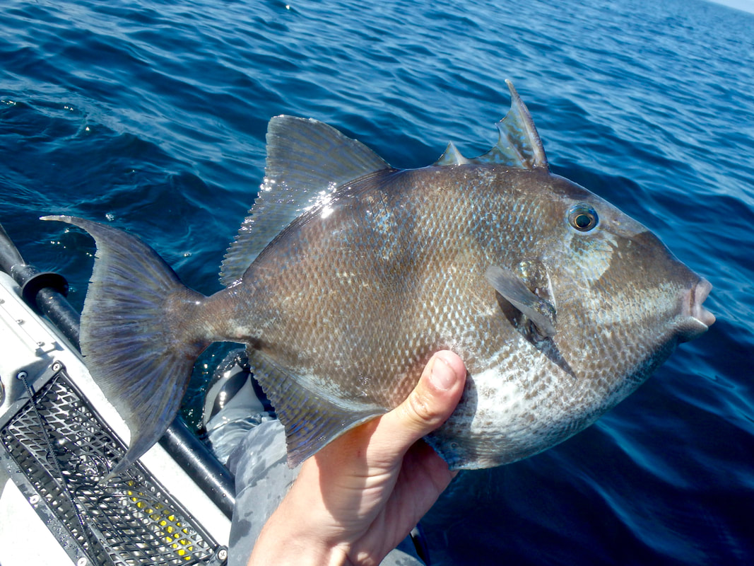 Trigger Fish in Cornwall from the kayak